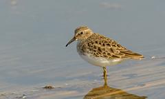 Least Sandpiper (eBird.org) Tags: ebird front page birding birds flickr citizen s science conservation