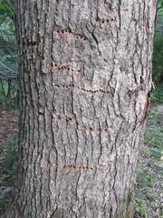 Yellow-bellied sapsucker (Sphyrapicus varius) holes (tigerbeatlefreak) Tags: yellowbellied sapsucker sphyrapicus varius bird woodpecker holes wisconsin