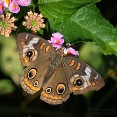 Common Buckeye (jciv) Tags: mission texas unitedstatesofamerica commonbuckeye file:name=dsc05863 macro insect butterfly flower