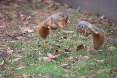 167/366/4184 (November 25, 2019) - Juvenile and Adult Fox Squirrels on an Autumn Day in Ann Arbor at the University of Michigan - November 25th, 2019 (cseeman) Tags: gobluesquirrels squirrels foxsquirrels easternfoxsquirrels michiganfoxsquirrels universityofmichiganfoxsquirrels annarbor michigan animal campus universityofmichigan umsquirrels11252019 autumn fall eating peanuts novemberumsquirrel juvenilesquirrels juvenilefoxsquirrels juveniles lefty leftysquirrel missingpaw umleftysquirrel 2019project365coreys yeartwelveproject365coreys project365 p365cs112019 356project2019 umsquirrel2019