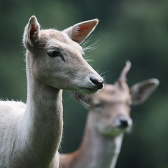 White Doe & Pricket (andy_AHG) Tags: wildlife autumn stag fallowdeerbuck antlers animals nikond300s yorkshire doe