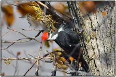 Pileated Woodpecker (RKop) Tags: raphaelkopanphotography eastforklake d500 ohio nikon 600mmf4evr nature pileatedwoodpecker