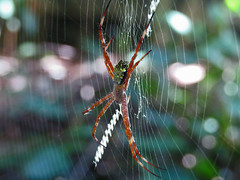 The red spider (rief3591) Tags: spider macro