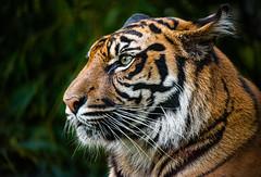 Tyger Tyger, burning bright (Lensjoy) Tags: lensjoy tiger portrait eye intensity predator