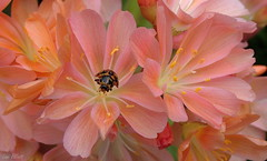Lifted up by Pollen Dust ! (Lani Elliott) Tags: homegarden garden lanisgarden lanisflowers lanielliott nature naturephotography colour colourful pollen insect bug ladybird ladybug commonspottedladybird lewisia flowers flower salmon pink orange bright light petals spots spotted