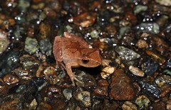 Spring Peeper, Kent County, Maryland, November 2019 (sstaedtler) Tags: frog peeper maryland kentcounty nature outside amphibian wildlife herping conservation animal