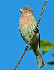 House Finch, male (ctberney) Tags: housefinch haemorhousmexicanus male bird perched backyard bluesky niceday nature ontario canada