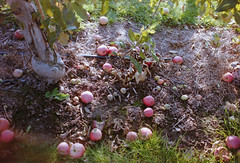 Apples (Lumad21) Tags: apples trees farm 35mm olympus pointandshoot analog toronto canada ontario applepicking nature
