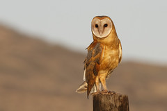 Barn Owl (Tyto alba) (SharifUddin59) Tags: barnowl owl tytoalba bird birdofprey perched kekaha kauai hawaii nature animal wildlife