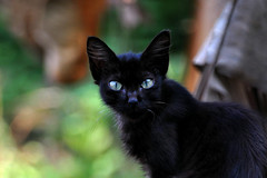 The Black Kitten (le Chat Noir) (natureloving) Tags: cat blackcat chatnoir chat animal nature natureloving nikon d90 nikonafsdxnikkor18300mmf3563gedvr cc100 animalplanet