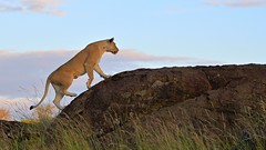 Top of the heap (John Kok) Tags: kenya masaimara august2019 lion pantheraleo nikkor7020028evr2