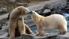 Milana & Sprinter haben ein Baby bekommen. (♥ ♥ ♥ flickrsprotte♥ ♥ ♥) Tags: zoo hannover milana sprinter eisbären