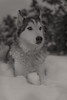 Aurora (Cruzin Canines Photography) Tags: aurora animal animals canine dog dogs pet pets portrait husky huskies alaskanhusky siberianhusky blackandwhite monochrome sepia winter snow palmerpark colorado coloradosprings