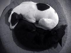 Yin and Yang! (gainesp2003) Tags: dogs yin yang cute