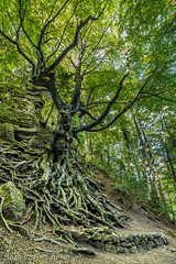 FAIG PARE (juan carlos luna monfort) Tags: arbol haya fagedadelretaule hayedodelretaule lasenia montaña tree verde nikond810 irix15 calma paz tranquilidad