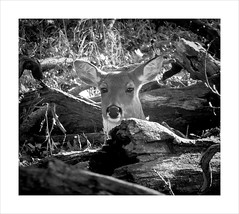 Oh Dear (Demmer S) Tags: deer treebranches trees branches nature tree animal woods forest wildlife outside woodsy outdoors wildlifephotography animals creatures closeup close border frame photoborder framed northshore suburb chicagosuburb bw monochrome blackwhite blackandwhite blackwhitephotos blackwhitephoto chicagoland