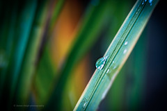 Sony a7rii sony 90mm g 2.8 macro (Jasrmcf) Tags: sony sonya7r sonyalpha sonylens sonyg sonyimages sony90mm28 sonya7rii garden nature ngc colours colourful colourartaward dof detail depthoffield smooth blur grass raindrops water bokeh bokehgraph bokehlicious fullframe
