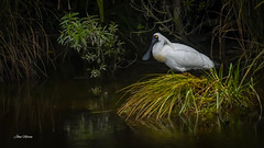 Royal Spoonbill (njohn209) Tags: birds d500 nikon nz