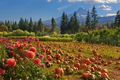 Mt Hood Fruit Valley 1784 A (jim.choate59) Tags: jchoate on1pics pumpkin dahlia autumn mounthood oregon landscape parkdaleoregon fruitvalley agriculture field hoodriveroregon d610 scenic