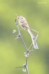 Phaneroptera nana (Raul Espino) Tags: 2019 canon100mml canon6dmarkii heliconfbtube langosta macro macrofotografia natural naturaleza saltamontes sevilla phaneroptera nana