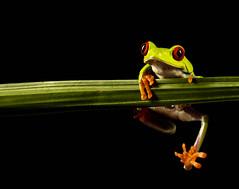 Eye Eye (daveknight1946) Tags: frog redeyedtreefrog green black red reptile