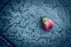 Flor de Olvido (Tomás Hornos) Tags: viñeteado flor fleur hibisco hibiscus 1855 d3200 ángulo perspectiva jardín parquesyjardines flower rawtherapee simulaciónfilmico otoño autumn