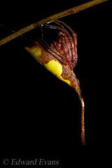 Leaf mimic orb-weaver spider (Poltys sp.) (edward.evans) Tags: orbweavingspider treestumpspider tailedspider mimic cryptic camouflage poltys orbweaver araneidae arachnid spider sabah kinabalu malaysia borneo asia wildlife nature kinabalupark kinabalunationalpark poring poringhotsprings lupamasa