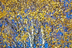 October foliage (Stefano Rugolo) Tags: stefanorugolo pentax k5 pentaxk5 smcpentaxm50mmf17 kmount bokeh autumn october foliage sky leaves blue yellow birch tree sweden manualfocuslens manual manualfocus vintagelens