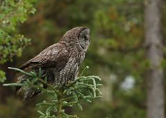 Great Gray Owl...#19 (Guy Lichter Photography - 5.3M views Thank you) Tags: canon 5d3 canada alberta wildlife animal animals bird birds owl owls greatgrayowl gray green trees