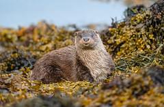 Otter (Chas Moonie-Wild Photography) Tags: otter wild scotland sea loch