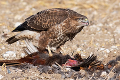 Common Buzzard feeding Nov 2019 (In Explore) (jgsnow) Tags: yellow bird raptor buzzard commonbuzzard feeding ngc npc