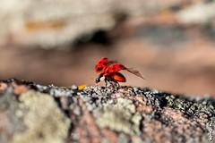 Fly far away... (N.Batkhurel) Tags: season selenge autumn animals insects ladybug mongolia macro closeup ngc nikon nikkor nikkor105mm nikond800 natur