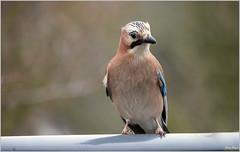 jay Bird ; Eichelhäher (K-PIXEL-N) Tags: jay birds eichelhäher vogel wald natur oudoor