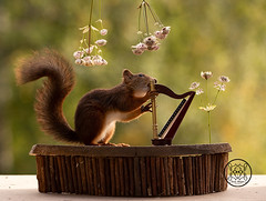red squirrel playing an harp (Geert Weggen) Tags: humor squirrel animal artscultureandentertainment author backlit bright classicalmusic closeup cute horizontal low mammal music musicalinstrument nature photography reading red rodent sun sweden table harp nopeople woodmaterial musicalinstrumentstring stringinstrument podium concert bispgården jämtland geert weggen ragunda