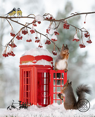 red squirrels and titmouse standing with an telephone booth in snow (Geert Weggen) Tags: telephone animal humor ringjewelry snow backlit bicycle booth bright closeup cute cycle logo mammal nature parasol passion payphone photography red rodent squirrel sun sweden telephonebooth travel vacations call lamp lantern summer tele talk park bench bird tit titmouse greattit winter ice vertical geert weggen bispgården jämtland ragunda