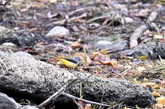 Bergeronnette des ruisseaux_04 (Jean-Daniel David) Tags: oiseau passereau nature faune réservenaturelle grandecariçaie rive rivage lac lacdeneuchâtel bois branche bokeh jaune feuillemorte yverdonlesbains suisse suisseromande vaud nikon nikond5600 tamronspaf150600mmf563a022