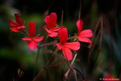 Wild Flowers (leendert3) Tags: leonmolenaar southafrica wildflowers nature naturalhabitat magoebaskloof drakensbergmoutains coth5