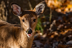 2019.11.25.8566 Little Doe (Brunswick Forge) Tags: 2019 virginia botetourtcounty nikkor200500mm nikond500 deer animal day sunny afternoon clear animals animalportraits woods tree trees nature wildlife autumn nikonflickraward outdoor outdoors grouped