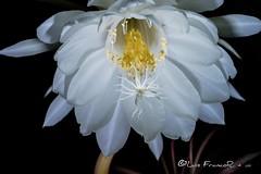 La flor del baile (Luis FrancoR) Tags: florinedita flor flower flowers whiteflower luisfrancor luisfrancorebgmailcom colombia nikon60mm28 nikon nikond600 nikonflickraward nikonbest ng ngd ngc ngg ngm ngo ngs ngw macro 60mmf28gmicro