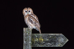 Tawny Owl (alanrharris53) Tags: tawny owl bird aves flash perched sign footpath lincolnshire hide