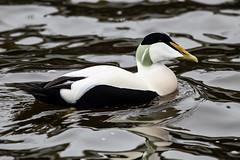 Eider Duck (Bill Richmond) Tags: eiderduck sommateriamollssima common divingduck seaduck northumberland nsfq nikon500f4 nikond850 nikon14xconverter male
