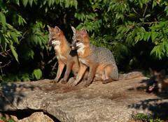 Let's Keep Our Eyes On That! (in Explore 11/27/19) (thebanjobert) Tags: fox kits pups grayfox nature wildlife gray wildoklahoma