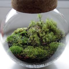 Mossarium (NightCity85) Tags: moss mossarium crafts terrarium nature bryophytes