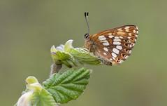 Duke of Burgundy (Hamearis lucina). (Bob Eade) Tags: butterflies dukeofburgundy hamearislucina kent denge spring butterfly lepidoptera britishbutterflies bobeade bokeh hazel