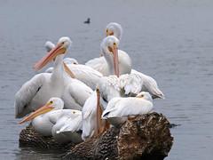 Crowded (Kaptured by Kala) Tags: americanwhitepelican whitepelican pelican pelecanuserythrorhynchos winterbirds aquaticbird aquatic waterfowl whiterocklake dallastexas sunsetbay sleeping napping preening sociable driftwood crowded