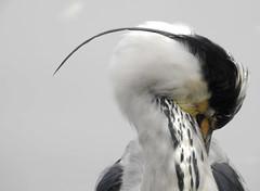 Ardea cinerea (M.L Photographie) Tags: animal wild wildlife wildlifephotography bird oiseau ornitho ornithology ornithologie heron héron ardea ardeacinerea denmark danemark nikon coolpix p900