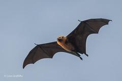 Fruit Bat-Flying Fox 501_8197.jpg (Mobile Lynn) Tags: nature landmammals fruitbat bat fauna flyingfox mammal mammals megabat pteropusseychellensis wildlife specanimal