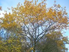 Gott, der du mit deiner Treue (amras_de) Tags: baum træ stablo boom árbol drvo arbre strom tree arbo puu zuhaitz crann fa arbore tré albero arbor medis koks tre drzewo árvore àrvulu drevo träd agaç herbst agüerro jesen tardor podzim efterår autumn autuno otoño sügis udazken syksy automne fómhar osz haust autunno autumnus hierscht ruduo rudens herfst høst jesien outono toamna autunnu hairst höst sonbahar