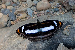 Athyma cama - the Orange Staff Sergeant (BugsAlive) Tags: butterfly mariposa papillon farfalla 蝴蝶 dagvlinder 自然 schmetterling бабочка conbướm ผีเสื้อ animal outdoor insects insect lepidoptera macro nature nymphalidae athymacama orangestaffsergeant limenitidinae wildlife chiangdaons chiangmai ผีเสื้อในประเทศไทย liveinsects thailand thailandbutterflies nikon105mm bugsalive ผีเสื้อจ่าคาม่าจุดส้ม
