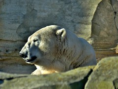 Happy Birthday LLOYD (BrigitteE1) Tags: zooammeer eisbär lloyd polarbear ursusmaritimus germany happybirthday sunset light shadow specanimal